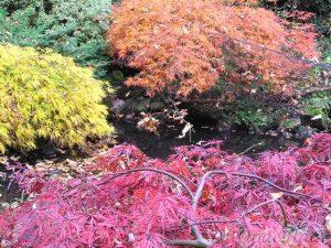 Acer palmatum Inaba Shidare, Acer palmatum dissectum Flavescens, Acer palmatum Ornatum in de herfst