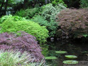 Acer palmatum Inaba Shidare, Acer palmatum dissectum Flavescens en Acer palmatum Ornatum in de lente