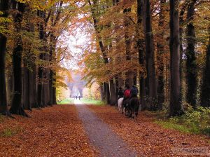 Beech trees in avenue just outside our house. the longest beech avenue in The Netherlands