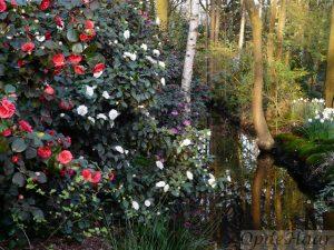 Camellia walk en verspiegeling