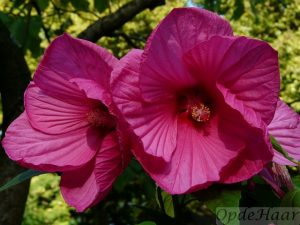 Hibiscus moscheutos Mauvelous