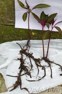 "Roots of Impatiens omeiana ""Sango"""