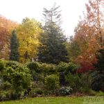 Liriodendron tulipfera (links) en Abies Grandis (center) in de herfst