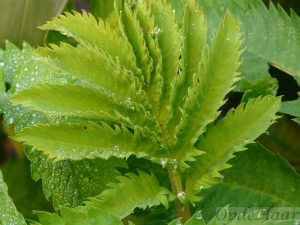 Melianthus major