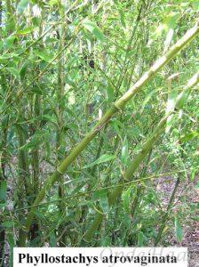 Phyllostachys atrovaginata
