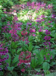 Primula japonica Miller's Scarlet