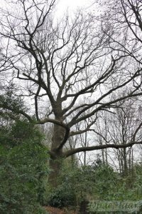 Quercus (oak) tree (300 years old