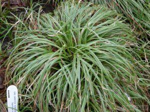 Carex siderosticha Silver Scepter