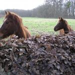 Horses looking over the leaf hedge