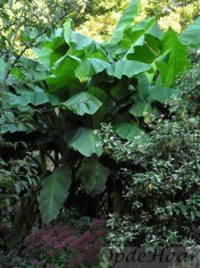 Musa basjoo (Banaan) in Tropische tuin