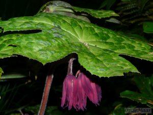 Podophyllum Spotty Dotty - bosplanten