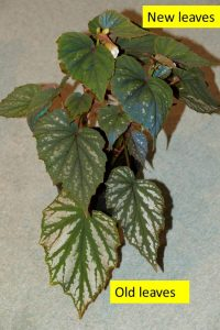 Begonia Nanjiang Silver showing old and new leaves