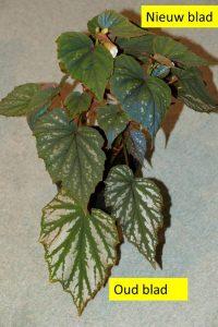 Begonia Nanjiang Silver Oud en Nieuw blad