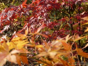 Acer palmatum Red Spider and Yugure