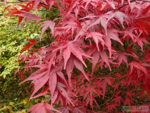 Acer palmatum Red Spider