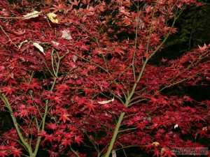Acer palmatum The Bishop