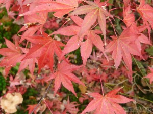 Acer palmaturm The Bishop