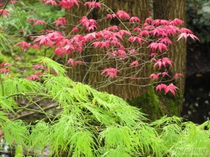 Acer palmatum flavescens & Shishio improved