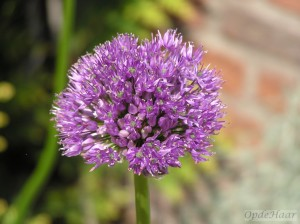 Allium Gladiator His Excellence