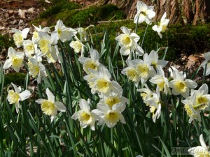 Narcissus Ice Folies