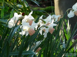 Narcissus Rainbow