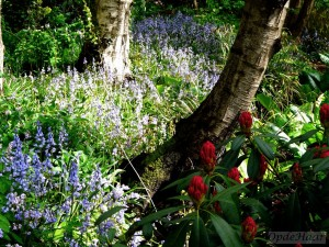 Rhododendron caucasicum Pictum and bluebells in the wood,