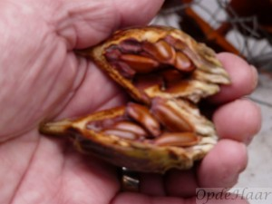 Calycanthus seeds