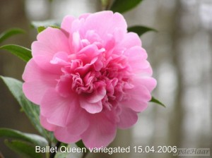 Camellia williamsii Ballet Queen variegated