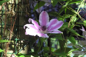 Clematis Bee's Julilee