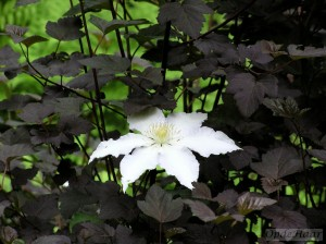 Clematis Marie Boisellot