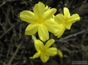 Jasmin nudiflorum