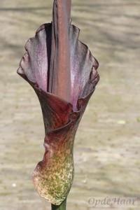 Amorphophallus Konjac bloem in april