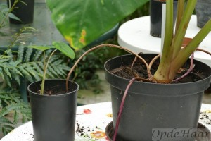Colocasia esculenta Pink China  multiples using pink coloured roots creeping above ground.