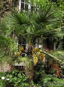 Trachycarpus