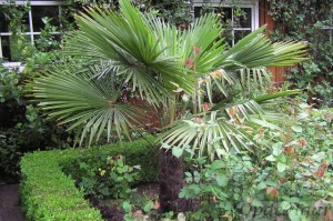 Trachycarpus fortunei in 2004