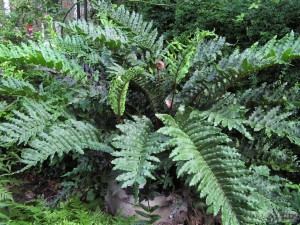 Blechnum chilensis from Dereen, Ireland