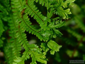 Dryopteris affinis Cristata, The King
