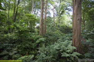 Ferns and metasequoia glyptostroibes in the wood