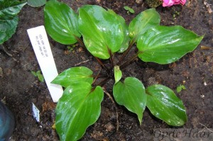 Hosta Harry van der Laar
