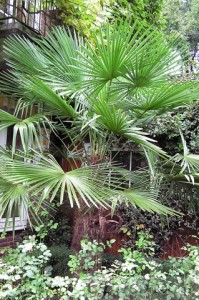 Trachycarpus fortunei in 2006