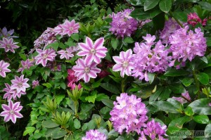 Clematis and Rhododendron in May
