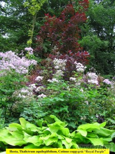 Hosta, Thalictrum, Cotinus coggygria Royal Purple