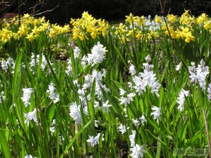 Narcissus jonquilla Baby Moon & Puschkinia libanotica in early April in the perennial borders