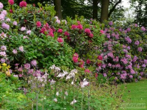 Rhododendron border  in May