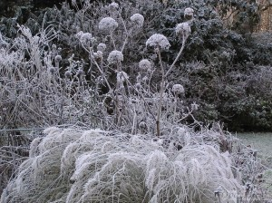 Seed heads on a frosty morning