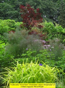 Tradescantia, Foeniculum, Cotinus coggyria Royal Purple in perennial border