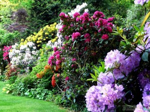 Rhododendrons round summer borders