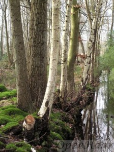 Betula (Silver birch) and  Fagus (beech) in the wood