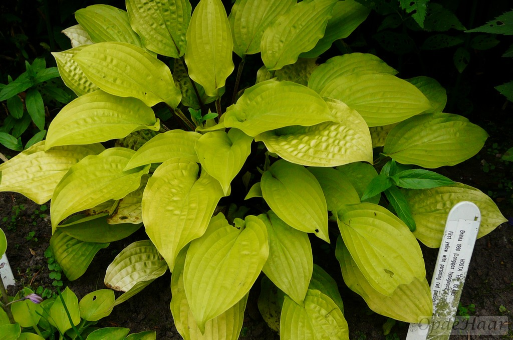 A Hosta Collection Is An Absolute Must In A Shady Garden Like Opdehaar