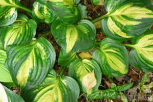 Hosta Centre of Attention
